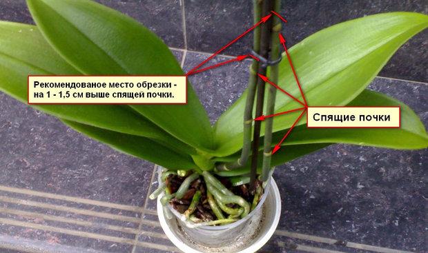 Схема обрезки орхидеи
