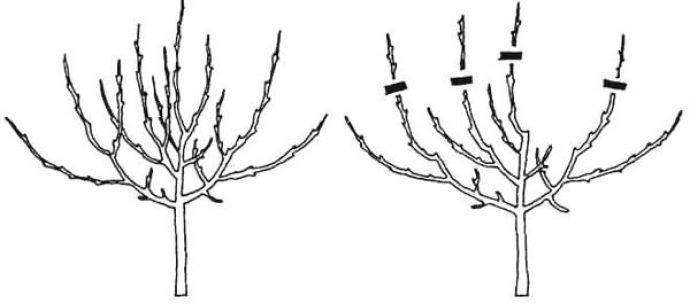 Обрезка груши осенью, весной, летом: как правильно обрезать 30