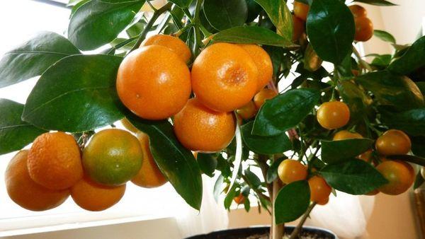 Большие мандариновые деревья не пересаживают