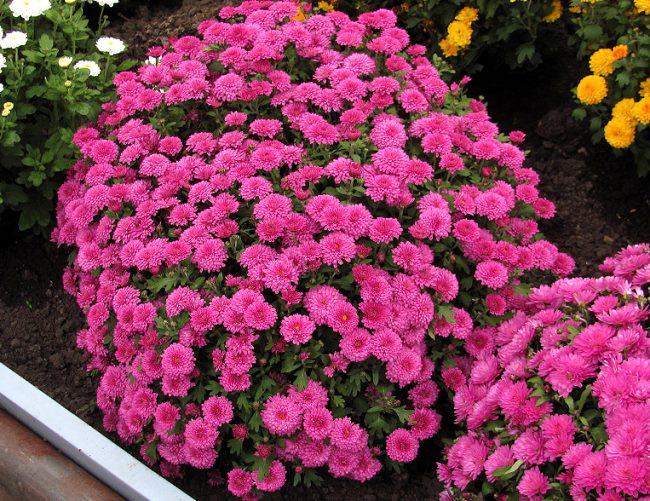 Brandroyal Pink