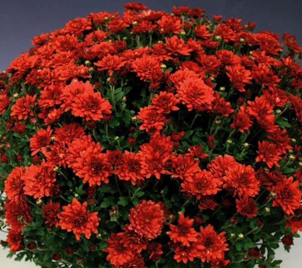 Хризантема Мультифлора (шаровидная) Branchili