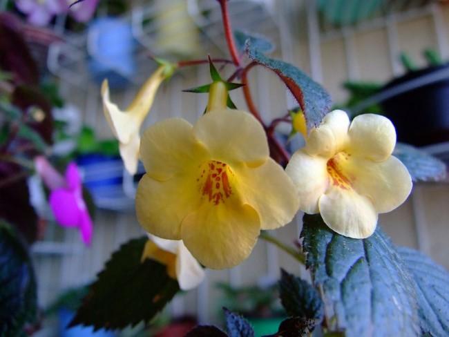 """Ахимсенес """"Yellow Beauty"""" с прекрасными кремовыми бутонами"""