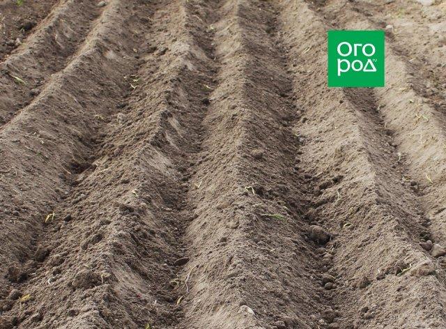 Первый картофель в июне – 5 шагов к ультрараннему урожаю
