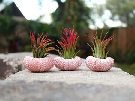 «Воздушные» растения: 14 забавных идей для дома фото 12