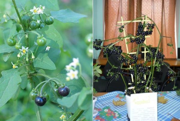 Черника форте растение выращивание