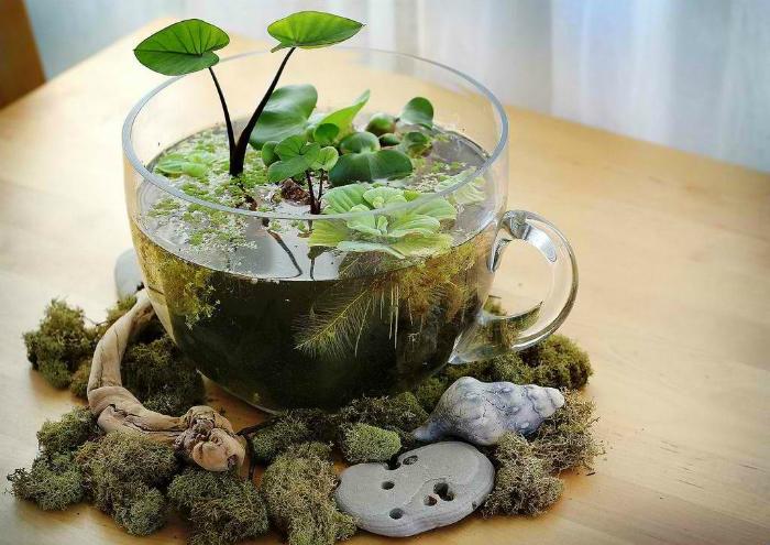 Небольшой водяной сад в стеклянной чашке.