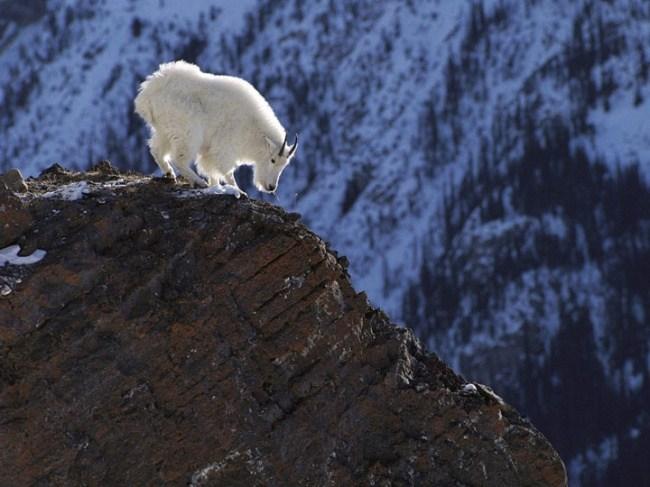горные козлы бесстрашные животные (10)