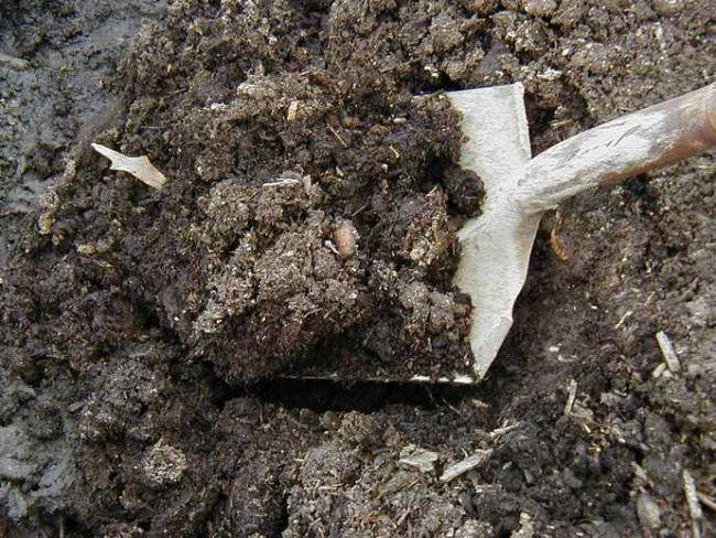 Для пересаживания кустовой розы следует примерно за месяц до проведения работ подготовить посадочные ямы