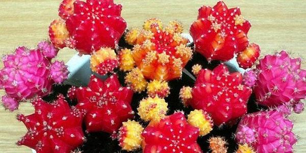 кактус гимнокалициум