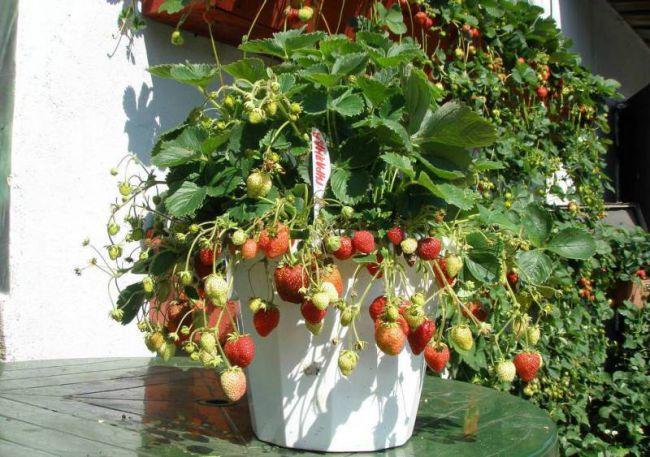 Наблюдение за ростом живого плодоносящего растения благотворно скажется на эмоциональном состоянии