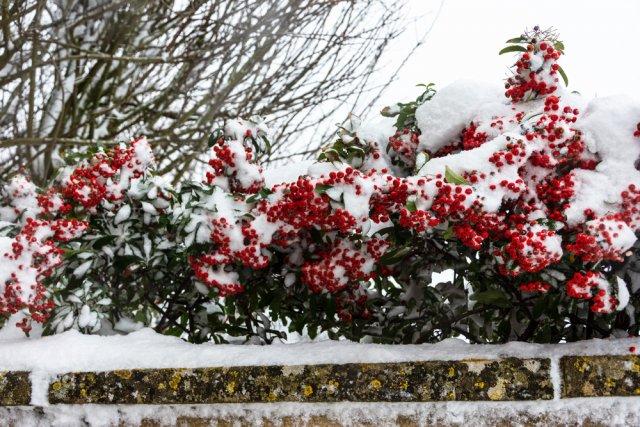 пираканта в снегу