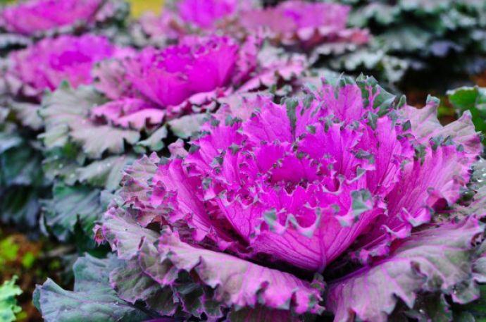 С соблюдением правильной агротехники от цветной капусты можно ожидать неплохого урожая даже с минимальным солнечным освещением