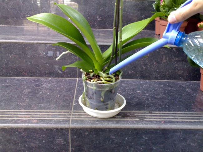 Очень важно орхидеи правильно поливать