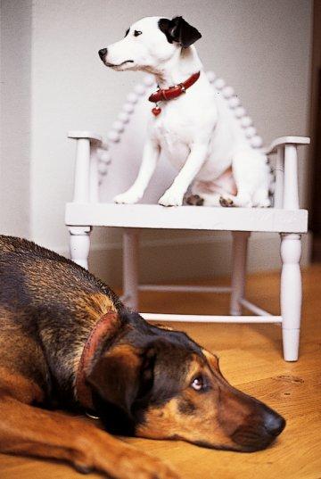 Деревянный стул окрашен в белый цвет, чтобы установить собака