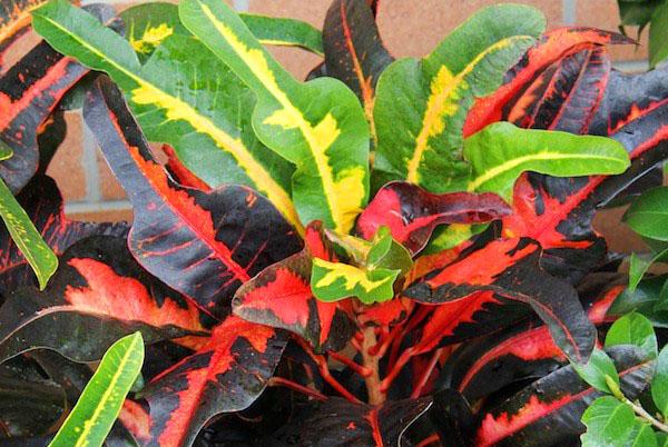 Codiaeum variegatum сорта Sanderi