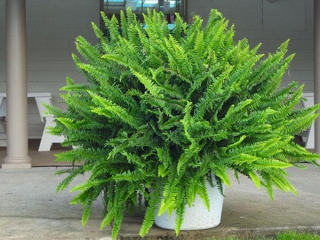 Папоротник комнатный относится к семейству сосудистых споровых растений