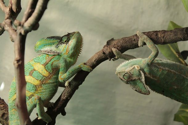 . Удивительный мир хамелеонов. Фото с сайта NewPix.ru