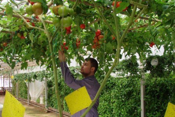 Мужчина под помидорным деревом