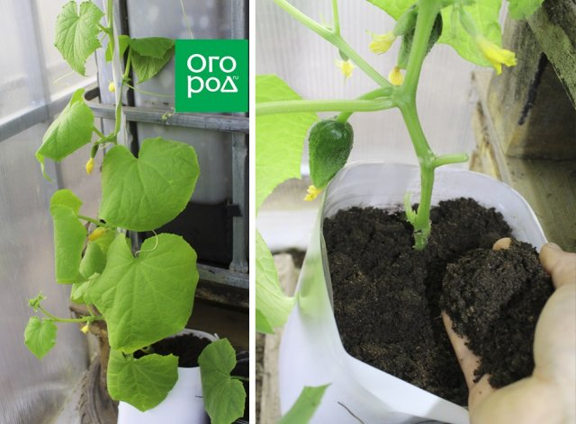 Как вырастить огурцы в бутылках – пошаговый мастер-класс с фото Сад и огород,рассада