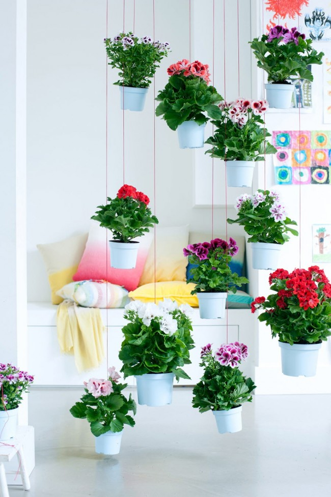 Висячие сады из горшков с пеларгонией. Этот цветок может спровоцировать аллергический приступ