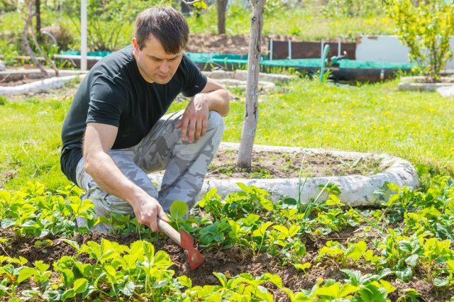 Как ухаживать за клубникой  весной – 5 простых шагов Сад и огород,сад