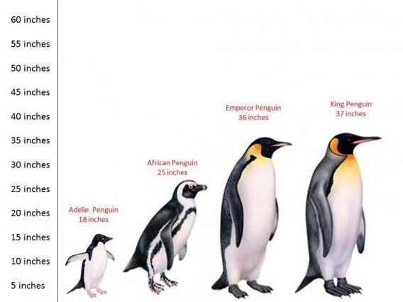 Пингвины- гиганты птичьего мира земля, природа, удивительное рядом, чудеса