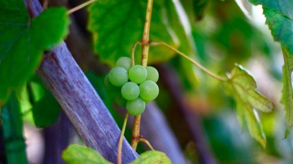 в какое время года лучше пересаживать виноград