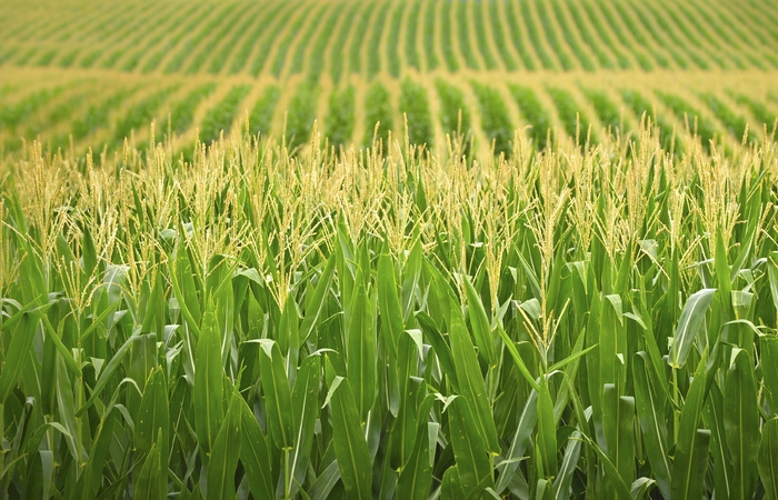 Альтернатива пластику: кукуруза.