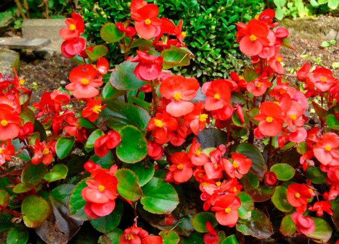 Бегония вечноцветущая (Begonia semperflorens)