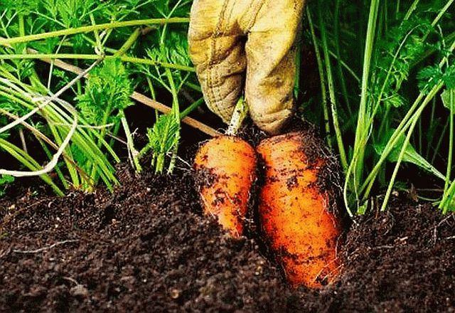 выдергивание моркови