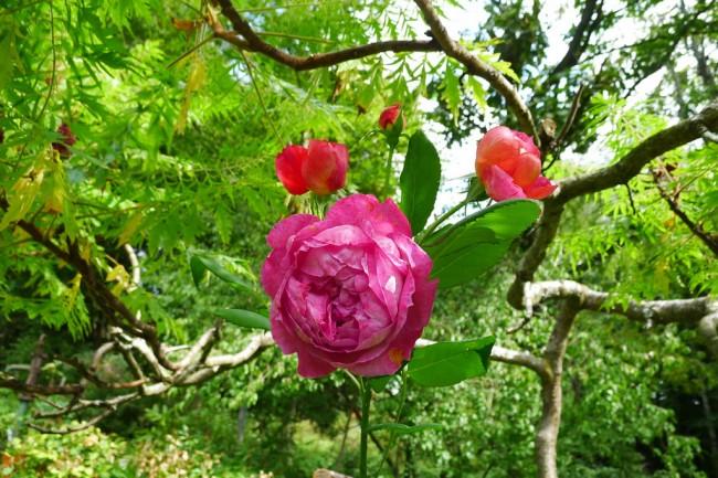 """Яркий цветок высокорастущего сорта """"Бенджамин Бриттен"""". Иногда нуждается в создании опоры для него. Часто импользуется для оттенения других сортов роз Остина, более нежных оттенков"""