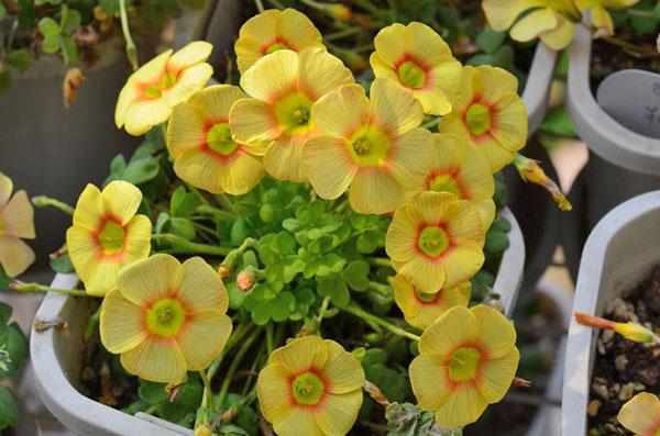 Oxalis obtusa сорта Elizabeth