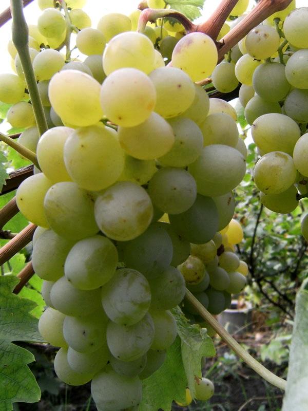 Сорт винограда Восторг белый