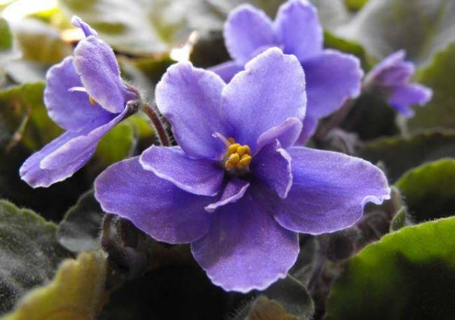 По семейной принадлежности фиалка относится к геснериевым тропическим растениям и является травянистым многолетником