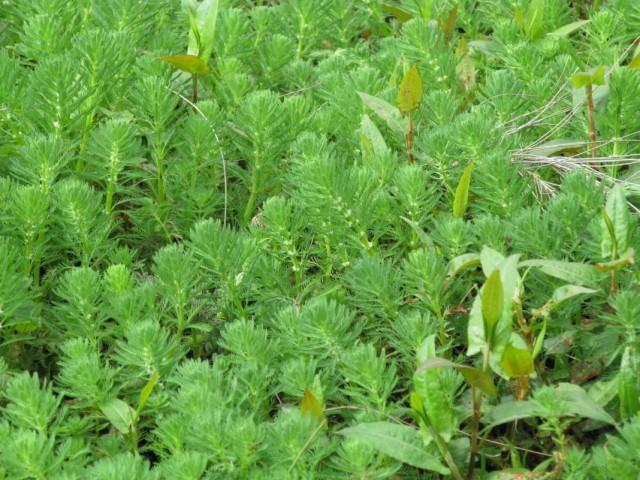 Роголистник погруженный (Ceratophyllum demersum)