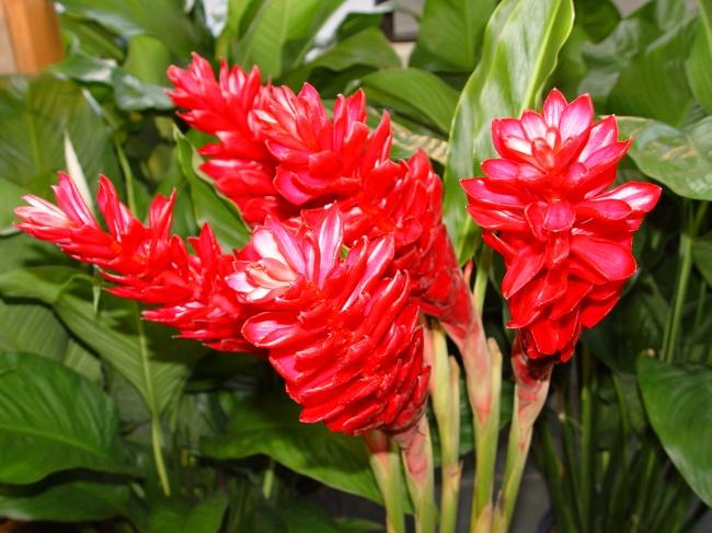 Цветение имбиря в домашних условиях