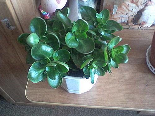 Растение пересаженное в новый горшок