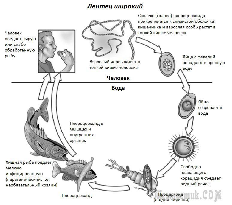 какие паразиты живут в желудке человека