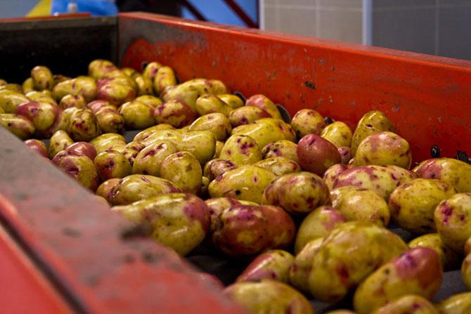 Как выращивают картофель