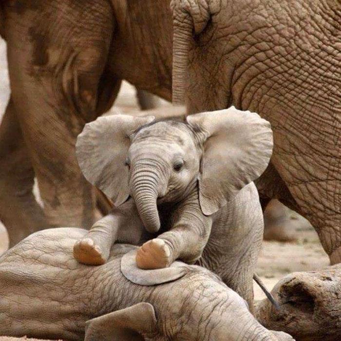 Маленький слон