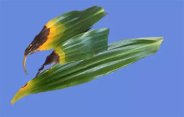 У драцены также опадают листья из-за болезней