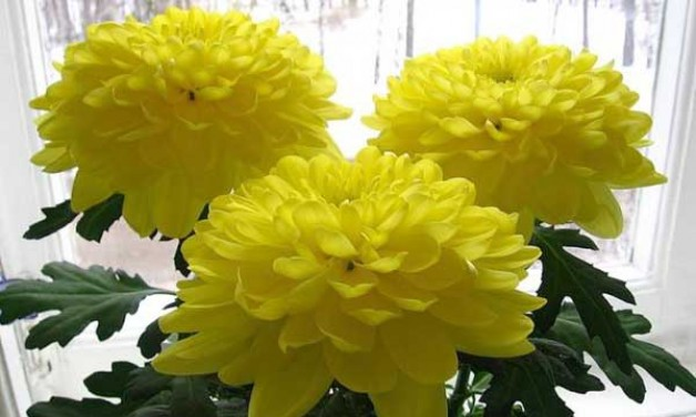 Хризантема комнатная — уход в домашних условиях