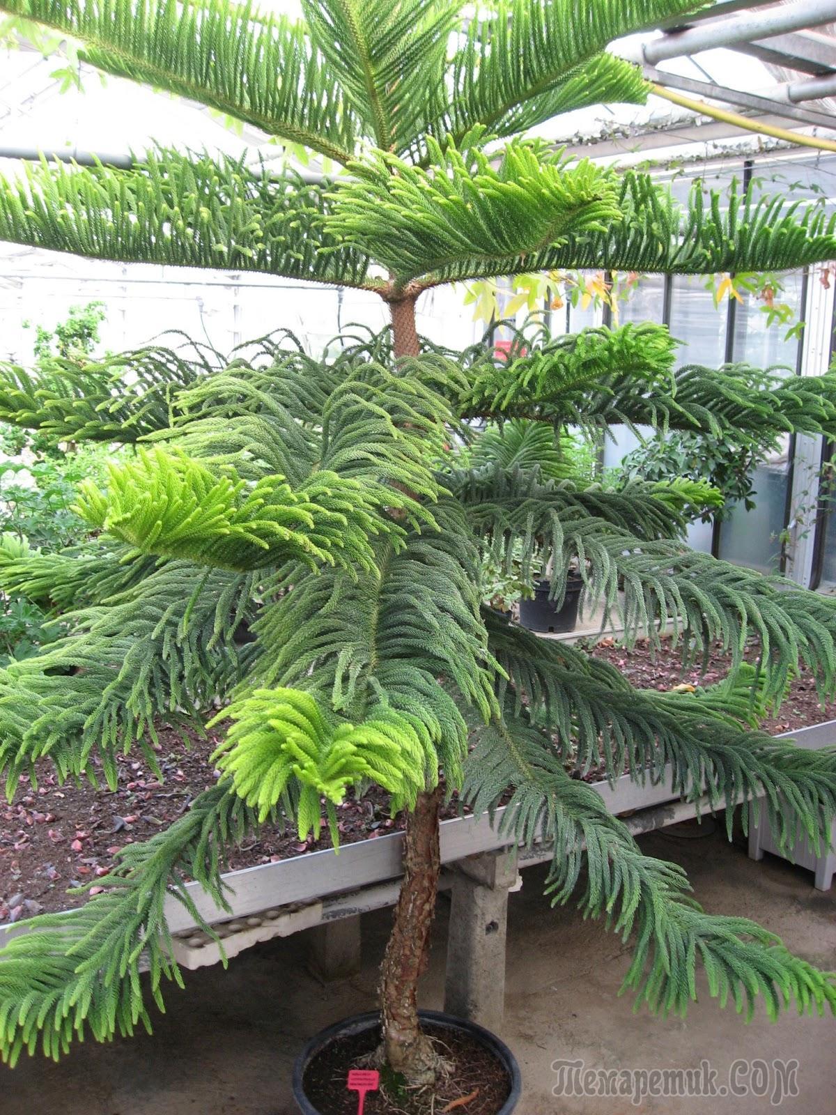 Араукария — домашняя ель. Уход, выращивание, размножение ...