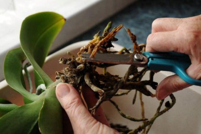 Выполнять обрезку орхидеи следует острым и абсолютно чистым инструментом