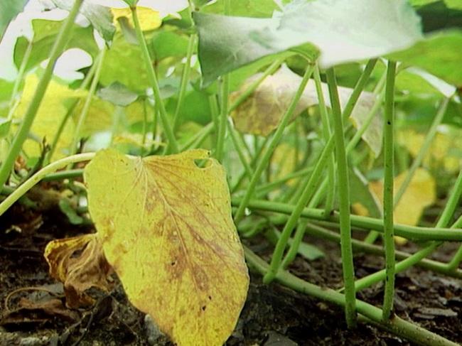желтеют листья огурцов, почему желтеют листья огурцов, пожелтение листьев огурцов,