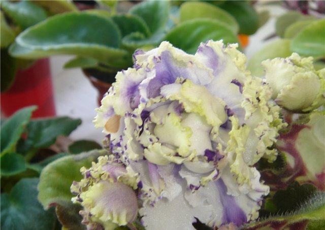 Как цветет фиалка зеленая лагуна