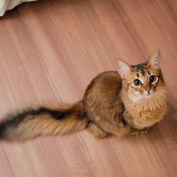 Шикарнейшай кошка с окрасом, как у лисы.