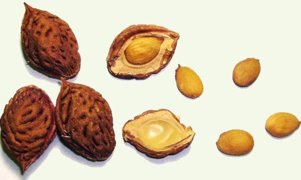 Посадка косточек персика