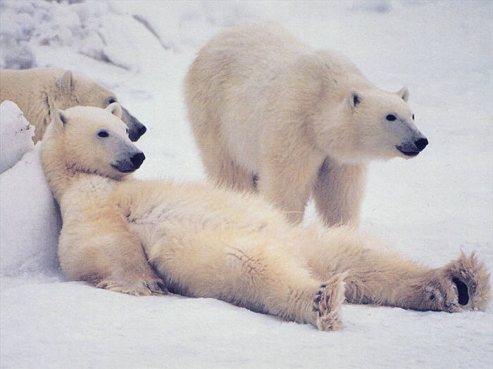 Белый медведь - одно из самых больших и сильных животных.