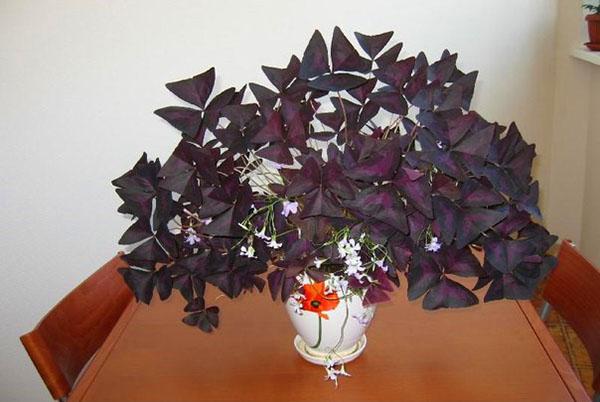 Кислица треугольная фиолетовая